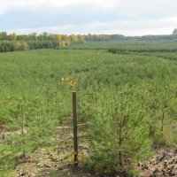 Monotonous rows of pine trees: forestry-driven reclamation