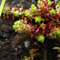 Illecebrum verticillatum: mined peatbogs as a substitute biotope